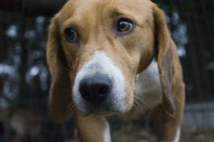 Rescate realizado por simpatizantes de Igualdad Animal de 36 perros del criadero de animales para experimentación en laboratorio Isoquimen (Cataluña).