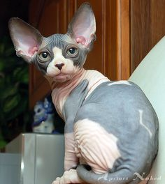 I've always wanted a sphynx!!! And this one is just adorable!!