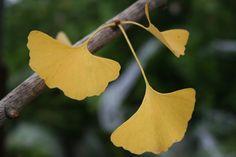 Resultado de imagem para autumn gold ginkgo tree