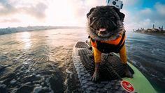 GoPro Channel | Pug Surfing With the Original GoPro