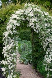 for every month of the year Clematis wilsonii 'Montana' - a gorgeous climber!Clematis wilsonii 'Montana' - a gorgeous climber! Moon Garden, Dream Garden, Big Garden, Garden Kids, Clematis Montana, The Secret Garden, Hidden Garden, Garden Arches, Garden Cottage