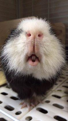 Piggie nose