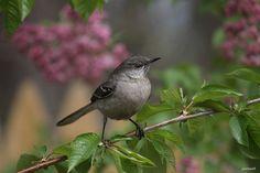 """Northern Mockingbird"" ""Mimus polyglottos"""