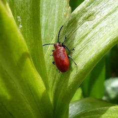 Controlling Lily Leaf Beetles, Lilioceris lilii  | Gardener's Supply