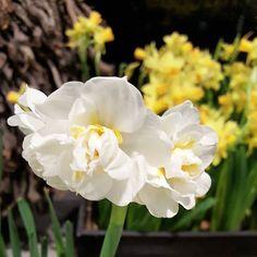 Pääsiäinen tuo kevään värit  #pääsiäinen #easter #narsissit #narcissus #flowerstagram #flowerpower #gardenlover #lifestyleblogger #nelkytplusblogit #åblogit #ladyofthemess