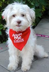 Tota Jingles is an adoptable Maltese Dog in Los Angeles, CA. Tota is an adorable 3 year old, Shitzu/Poodle mix with an adorable underbite. She is 10 lbs of fun, cute, naturally happy, funny and snuggl...