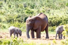 Elephant family having a drink Elephant family having a drink at the watering hole.