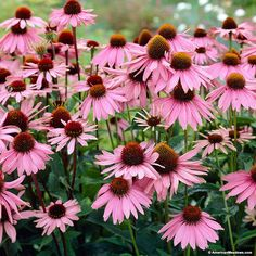 Echinacea Purpurea or purple coneflower produces long lasting mauve pink to purple daisy like flowers.   Coneflower is one of the finest native perennials, attracting all types of butterflies, birds and bees to your garden.  This easy to grow coneflower is tough, being able to withstand drought, and cold.   (Echinacea purpurea)
