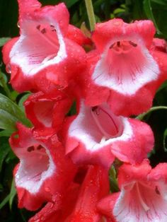 Penstemon 'Ice Cream Sweet Cherry'