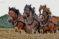 Oogstdemonstratie Krabbendijke | Zeeland op foto Big Horses, Work Horses, White Horses, Horse Love, Clydesdale, Draft Horses, Horse Farms, Zebras, Horseback Riding