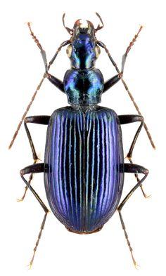 Anchomenus cyaneus