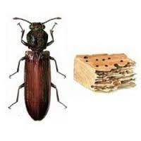 Common Pests in your Home-Termites and Wood-Boring Beetles - One of the strange ironies of this planet is that the supreme builders of the insect world are those who eat, ravage, and destroy our own dwellings. Every year termites cause more damage in the United States than fires, storms, and earthquakes combined. In 1990  Read more: http://home.tipsdiscover.com/common-pests-in-your-home-termites-and-wood-boring-beetles/#ixzz2vOHPKSdT