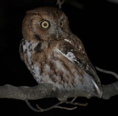 Eastern Screech Owl (Megascops asio), Red Morph. 2015 NOVA Christmas Bird Count: Unusual sightings--one sector had an owl trifecta (Eastern Screech, Barred and Great Horned); the last time our whole count circle had three owls was 2006.