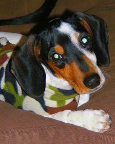piebald mini doxie Oscar :) - via I love Dachshunds fb site