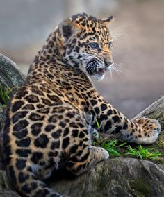 Valerio, a jaguar cub, recently turned six months old. He's a star attraction at the San Diego Zoo. Photo by Ion Moe