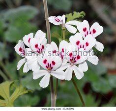 Cactus Geranium - Pelargonium echinatum Native of South Africa - Stock Image