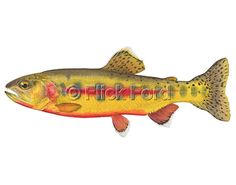 Modern taxonomic plate style print of a Golden Trout, Oncorhynchus aguabonita. The print is from the original watercolor painting produced for the book, FISH, 77 Great Fish of North America.  About Our Prints: All of our prints are fine art Giclée prints printed on acid-free paper with archival inks. 8 X 10 OEPs (Open Edition Prints) & 11 X 14 Tropical OEPs are printed on Sunset Production eSatin® 250g paper. 12 X 18 Game Fish OEPs & 16 X 24 Game Fish LEPs (Limited Edition Prints) are...