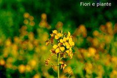 Fiori gialli di rape in fiore nell'orto di mamma