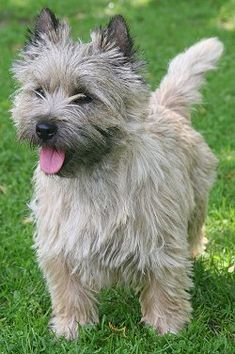 Cairn Terrier dog breed: loves to play and needs his daily walks. But he is adaptable to any home in which he can be a full participant and busybody and where his bold terrier traits are kept under control by a confident owner. Cairn Terrier Welpen, Cairn Terrier Puppies, Terrier Dog Breeds, Pitbull Terrier, Boston Terrier, Lakeland Terrier, Norwich Terrier, Cairns, Cute Puppies