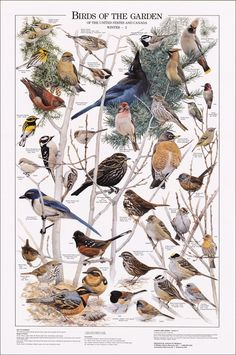 Birds of the Garden Poster, Birds Poster, Bird Identification, Common Garden Birds