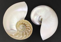Seashell Supply - Sliced Pearl Chambered Tiger Nautilus Seashell