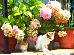 Cute kittens posing in front of hortensias in the village of Lia, Greece. From the book: The Secret Life of Greek Cats by Joan Paulson Gage: http://www.traveling-cats.com/2015/10/cats-from-lia-greece.html