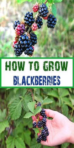 Blackberries are usually big plants and unsuitable for pots, but the thornless varieties are less vigorous and can be successfully grown in a large container. How to plant blackberries: Before you start planting, choose a site that has full sun. The soil should be rich and drains well. When planting, place bushes 6 feet apart.