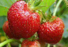 Выращивание садовой земляники — клубники