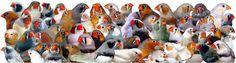Zebra Finch Mutations | Web Site For Zebra Finch Color Mutations