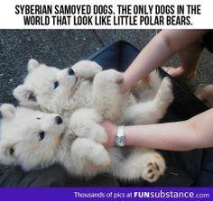 Siberian Samoyed Huskies