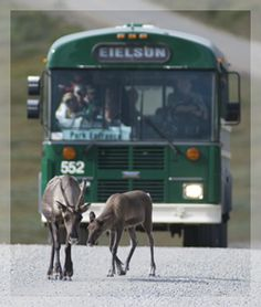 Green school bus tour through Denali Nat'l Park....one of those things you will only do once.