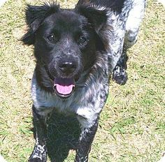 San Antonio, TX - Border Collie/Australian Cattle Dog Mix. Meet A233980 Bebe a Dog for Adoption.