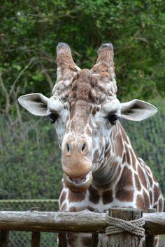woodland park zoo Woodland Park Zoo, Giraffe, Bucket, Photos, Animals, Felt Giraffe, Pictures, Animales, Animaux