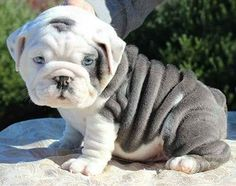 If you've been looking for an English Bulldog to brag about you've found us.English Bulldog puppies from a breeder with an excellent reputation. Not your average Bulldog puppies. Miniature English Bulldog, English Bulldog Puppies, French Bulldog, Bulldog Puppies For Sale, British Bulldog, Cute Puppies, Cute Dogs, Dogs And Puppies, Doggies