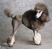 standard poodle haircuts Love love love it!