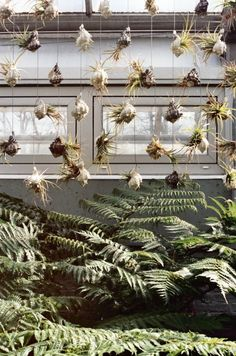 air plants in hanging shells
