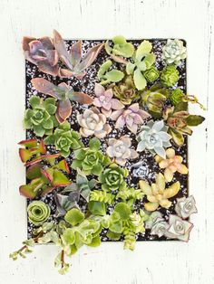 Kalanchoe Daigrmontiana -- The Incredible Self Propagating Succulent - Cassidy Tuttle Photography