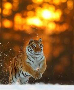 Featured wildlife shot of the day ✧ Photographe Jungle Animals, Cute Baby Animals, Large Animals, Animals And Pets, Big Cats, Cool Cats, Beautiful Cats, Animals Beautiful, Wild Animal Wallpaper