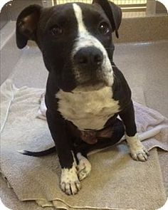 Oakland, CA - American Pit Bull Terrier/Labrador Retriever Mix. Meet Franky Brown Eyes, a dog for adoption. http://www.adoptapet.com/pet/12148777-oakland-california-american-pit-bull-terrier-mix