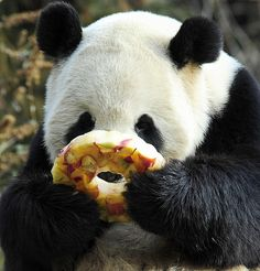 """Giant panda Tian Tian enjoys a fruitcicle at the Smithsonian Institution's National Zoo in Washington, DC - January 20, 2011"""