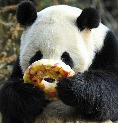 """Giant panda Tian Tian enjoys a fruitcicle at the Smithsonian Institution's National Zoo in Washington, DC - January 20, 2011"""