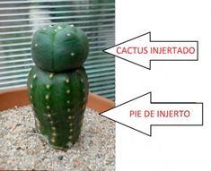 como-injertar-cactus-22
