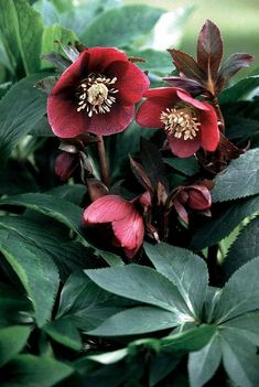 "Helleborus Hybrid ""Red Lady"""