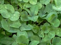 "Micro Clover by Nichols Garden Nursery. $39.95. Will tolerate some shade. Compact Growth. Spread at a rate of 1 LB. to 1000 SQ. FT.. ""Pipolina"". Smallest leaf size of any commercial clover. Tolerant of shade as well as full sun. Forms a healthy turf when planted alone, sown over existing lawns or mixed with grass seed. Deep stoloniferous roots provide drought tolerance and from optimal amounts of nitrogen. Height rarely exceeds 5 to 6"". Seldom flowers and does not..."
