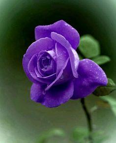 Purple Roses, Beautiful Roses, Flowers, Plants, Purple Rose, Plant, Royal Icing Flowers, Flower, Florals