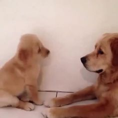 Talking back to Mom. Video by Gorgeous Goldens.