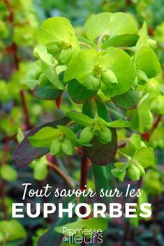 Horticulture, Garden Projects, Permaculture, Euphorbia, Garden Online, Plants, Garden, Kokedama, Flowers