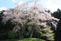 吉良のエドヒガン/徳島県