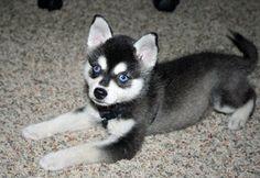Alaskan Klee Kai Puppy ( mini husky)  www.minihusky.com