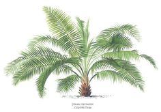 Palm tree print by Pannemaeker of Coquito Palm